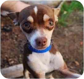 Chihuahua Mix Dog for adoption in Sherman Oaks, California - Nacho Libre