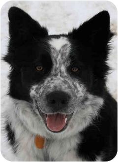 Border Collie Dog for adoption in Bellevue, Nebraska - Madadh