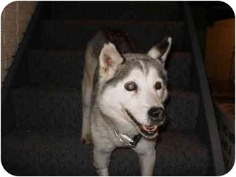 Husky Mix Dog for adoption in Elyria, Ohio - Nona