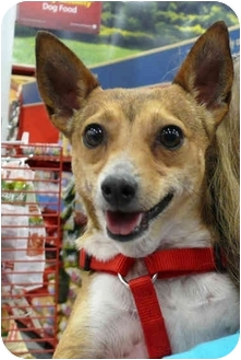 Corgi/Fox Terrier (Toy) Mix Dog for adoption in Sacramento, California - Sparky 12 pounds
