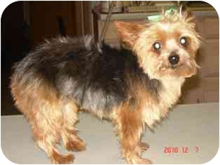 Yorkie, Yorkshire Terrier Dog for adoption in Osseo, Minnesota - Cassie