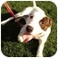 Photo 2 - American Bulldog Mix Dog for adoption in Redondo Beach, California - Happy - Courtesy