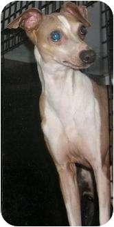 Italian Greyhound Dog for adoption in House Springs, Missouri - Angelo