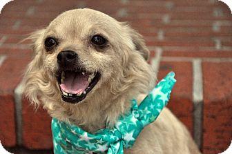 Chihuahua/Pomeranian Mix Dog for adoption in Houston, Texas - Tia