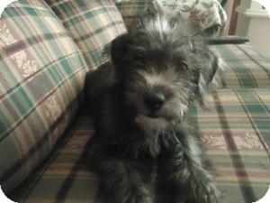 Shih Tzu/Poodle (Miniature) Mix Puppy for adoption in Carrollton, Georgia - Bubba Harrison