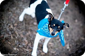 Rat Terrier Mix Dog for adoption in Muldrow, Oklahoma - Luciano