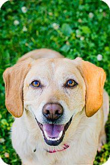 Beagle/Labrador Retriever Mix Dog for adoption in Seattle, Washington - Koda