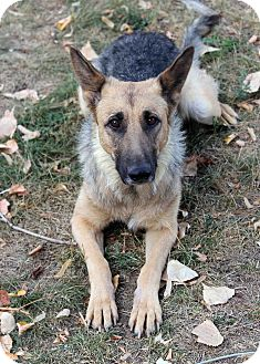 German Shepherd Dog Mix Dog for adoption in Westminster, Colorado - Valentina