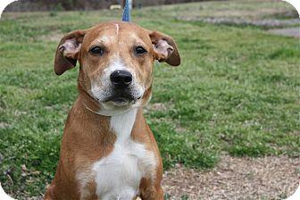 Labrador Retriever/Harrier Mix Dog for adoption in Conway, Arkansas - Wendy Lou