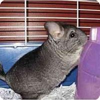 Adopt A Pet :: Polamalu - Fleetwood, PA