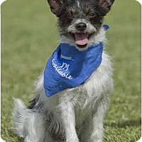 Adopt A Pet :: LITTLE BUDDY - Phoenix, AZ