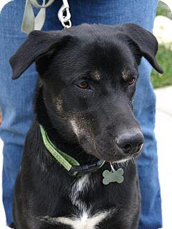 Husky/Shepherd (Unknown Type) Mix Dog for adoption in Parkville, Missouri - Leo