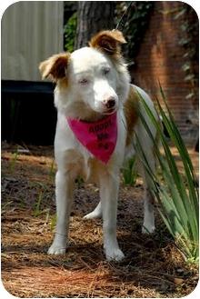 Australian Shepherd Dog for adoption in Savannah, Georgia - Sheba