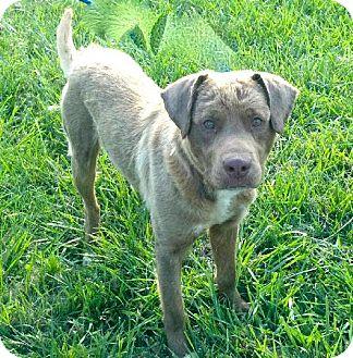 Labrador Retriever Mix Dog for adoption in Rockville, Maryland - Allen-ADOPTION PENDING!!