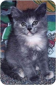 Domestic Mediumhair Kitten for adoption in Owatonna, Minnesota - Doc