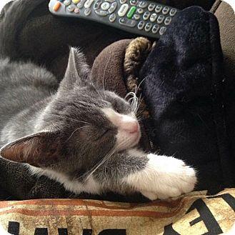 Domestic Shorthair Kitten for adoption in Columbus, Ohio - Pate