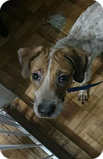 Pointer/Hound (Unknown Type) Mix Dog for adoption in Huntley, Illinois - Blaze