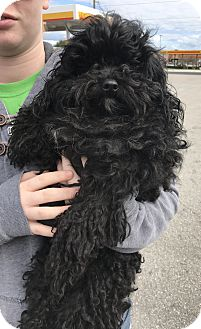 Poodle (Miniature) Dog for adoption in Palm Harbor, Florida - Jasper