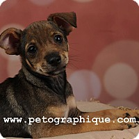 Adopt A Pet :: Bart - Las Vegas, NV