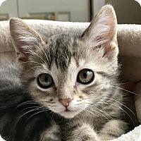 Adopt A Pet :: SOFIA - Palatine/Kildeer/Buffalo Grove, IL