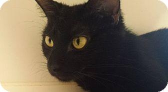 Domestic Shorthair Cat for adoption in Joplin, Missouri - Saffy Cc 6176