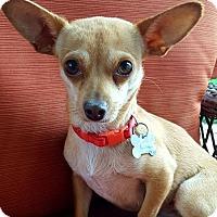 Chihuahua Dog for adoption in Colorado Springs, Colorado - Peaches