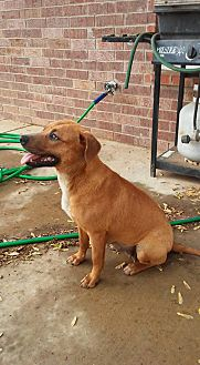 American Pit Bull Terrier Dog for adoption in Okmulgee, Oklahoma - May Flowers