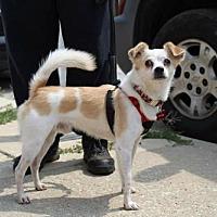 Adopt A Pet :: Ringo - Hillside, IL