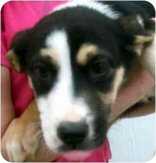 Border Collie Mix Puppy for adoption in Chapel Hill, North Carolina - Elsa