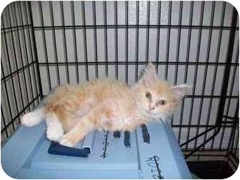 Domestic Longhair Kitten for adoption in New Port Richey, Florida - Marlene