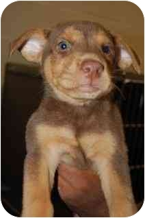 German Shepherd Dog/Doberman Pinscher Mix Puppy for adoption in Bel Air, Maryland - Sam