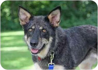 Australian Cattle Dog/German Shepherd Dog Mix Dog for adoption in Rochester/Buffalo, New York - Tricksy