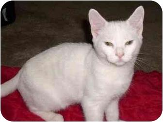 Domestic Shorthair Cat for adoption in Greenville, South Carolina - Hansel
