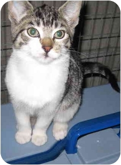 Domestic Shorthair Kitten for adoption in Randolph, New Jersey - Dougie and Denise