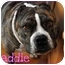 Photo 1 - English Bulldog/American Staffordshire Terrier Mix Dog for adoption in Trucksville, Pennsylvania - Maddie*