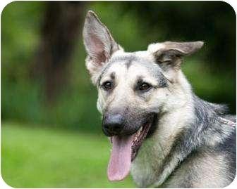 German Shepherd Dog Puppy for adoption in Mill Creek, Washington - Ana