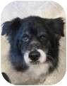 Border Collie Mix Dog for adoption in Salem, Oregon - Callie