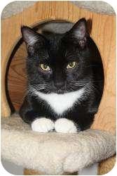Domestic Shorthair Cat for adoption in North Branford, Connecticut - Spatz
