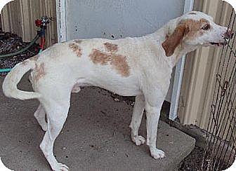 Hound (Unknown Type)/Pointer Mix Dog for adoption in Chatham, Virginia - Sammy