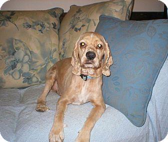 Cocker Spaniel Dog for adoption in Kannapolis, North Carolina - Humphrey  Adopted!