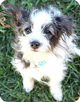 Terrier (Unknown Type, Small)/Chihuahua Mix Puppy for adoption in Temecula, California - Puff-I do not shed!