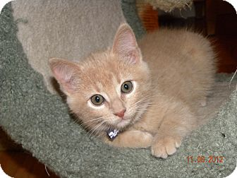 Domestic Shorthair Kitten for adoption in Fort Collins, Colorado - GINGER