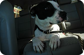 Pit Bull Terrier Dog for adoption in San Antonio, Texas - Polly