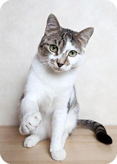 Domestic Shorthair Cat for adoption in East Hanover, New Jersey - Lorraine