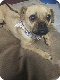 Pug/Chihuahua Mix Dog for adoption in Yelm, Washington - Pogo
