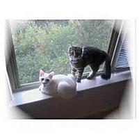Adopt A Pet :: Snowball & Stripes - Montgomery, IL