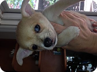 Chihuahua/Pomeranian Mix Puppy for adoption in Center Moriches, New York - Bandit