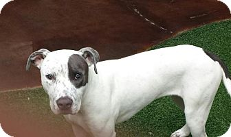 American Pit Bull Terrier Mix Dog for adoption in Lewisville, Texas - Piper
