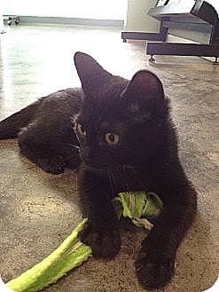 Domestic Shorthair Kitten for adoption in Shelbyville, Kentucky - Gotti