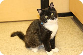 Domestic Shorthair Cat for adoption in Rochester, Minnesota - Grizzly
